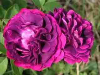 ruža 1.jpg