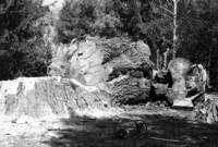 Výrub stromu v Kolmanovej záhrade