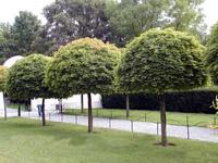 Sa od jesene minulého roku realizuje projekt výsadby stromov