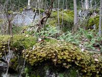 Typická flóra Kujáv - girlandy machov a papradie